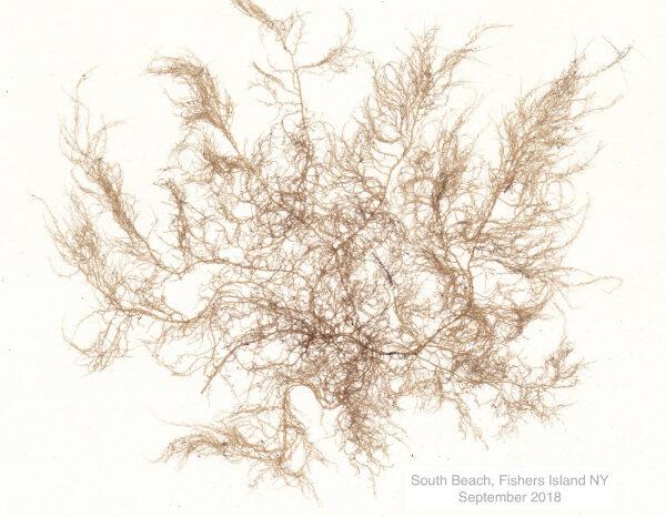 Creating Art with Seaweed